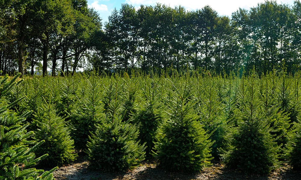 kerstbomen verkoop online
