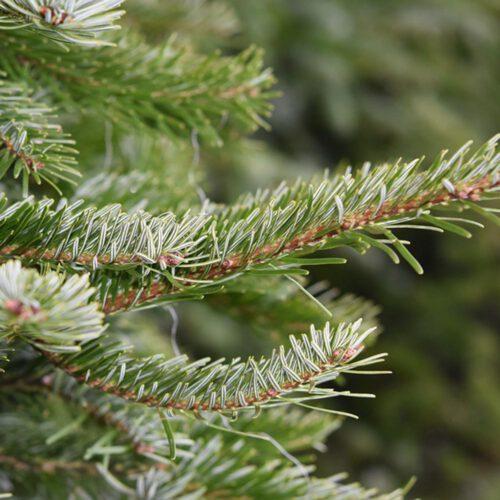 welke-kerstboom-blijft-het-langste-staan